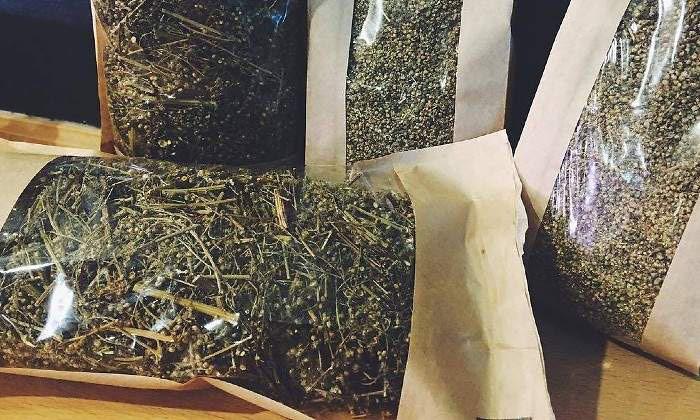 Artemisia-annua-de-Canarias
